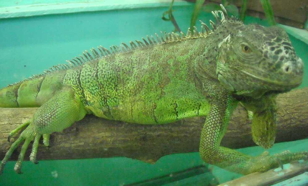 Обыкновенная игуана - Iguana iguana  (фото 5136)