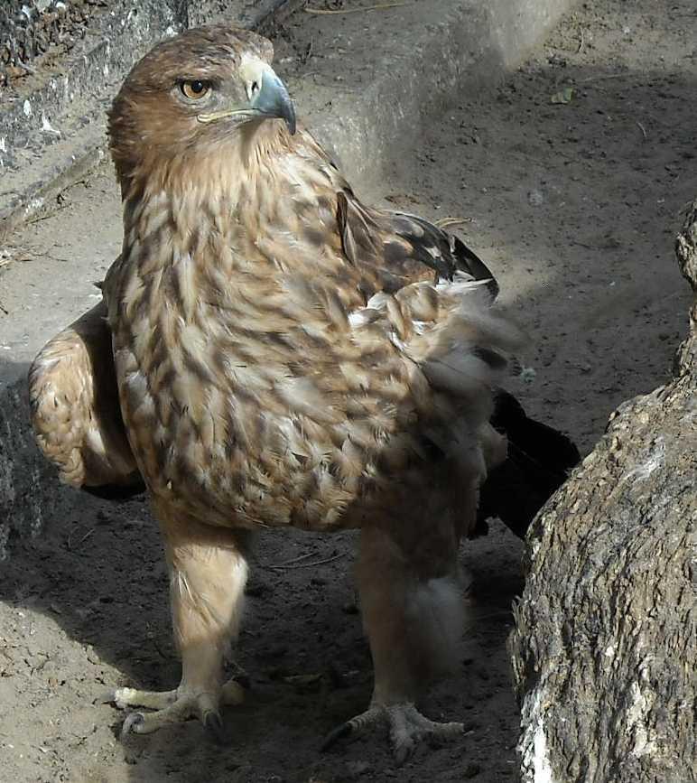 Беркут - Aquila chrysaetos  (фото 5164)