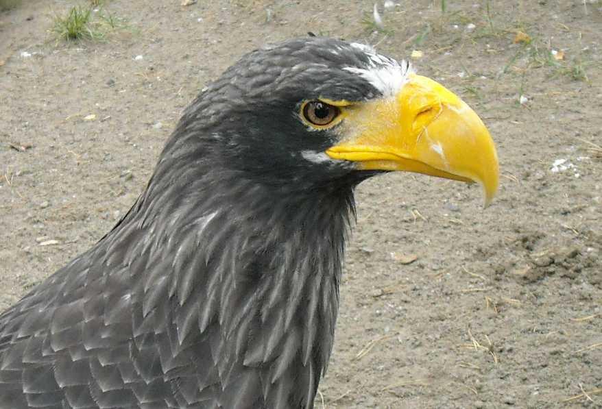 Орлан белоплечий - Haliaeetus pelagicus  (фото 5178)