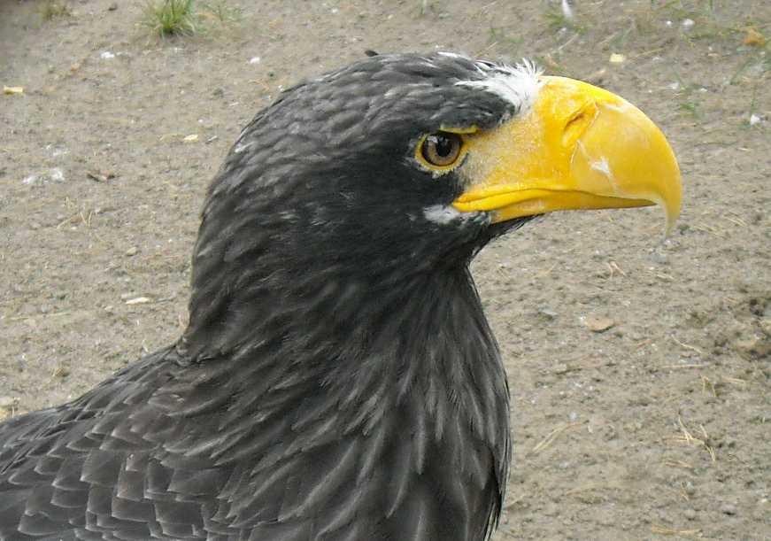 Орлан белоплечий - Haliaeetus pelagicus  (фото 5179)