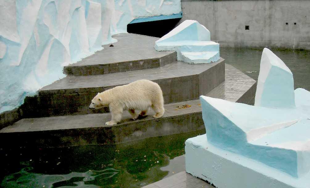 Белый медведь - Ursus maritimus  (фото 5180)