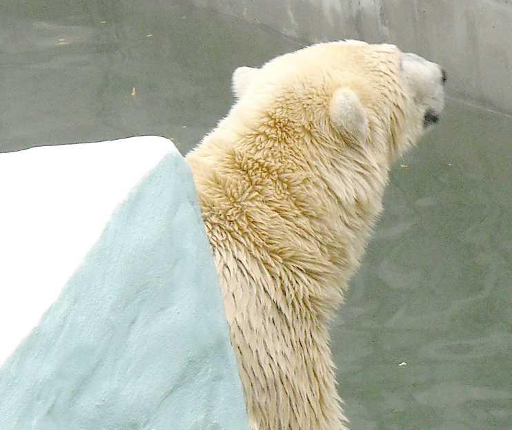 Белый медведь - Ursus maritimus  (фото 5181)