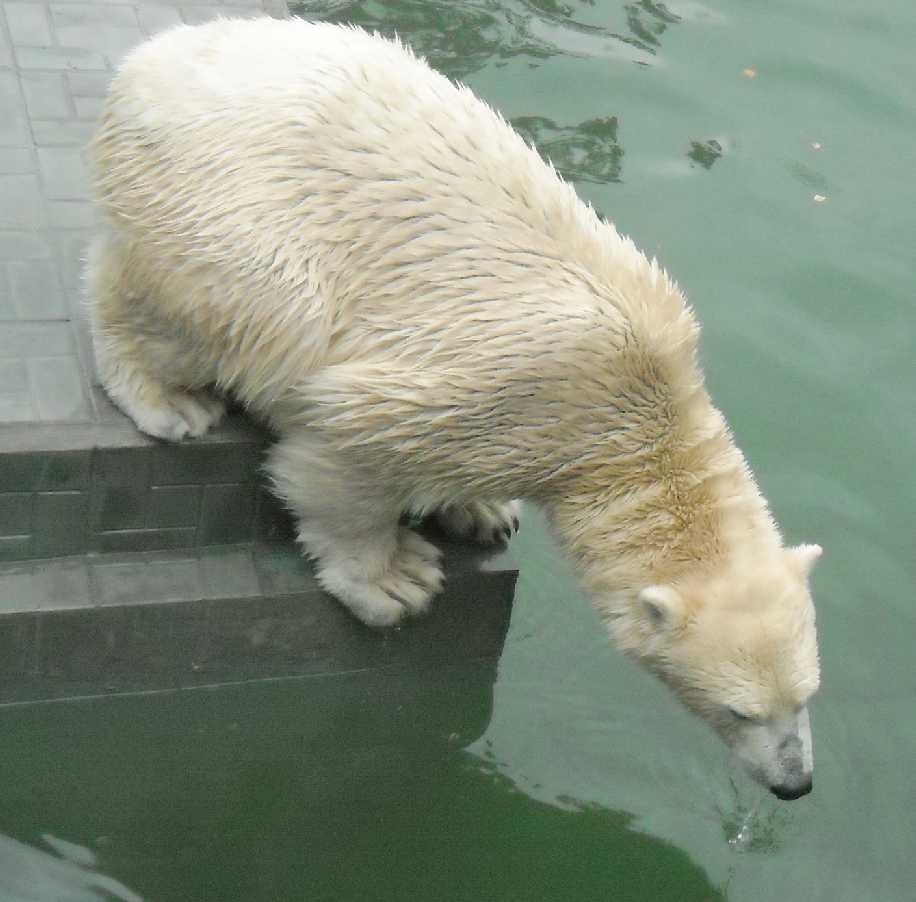 Белый медведь - Ursus maritimus  (фото 5183)