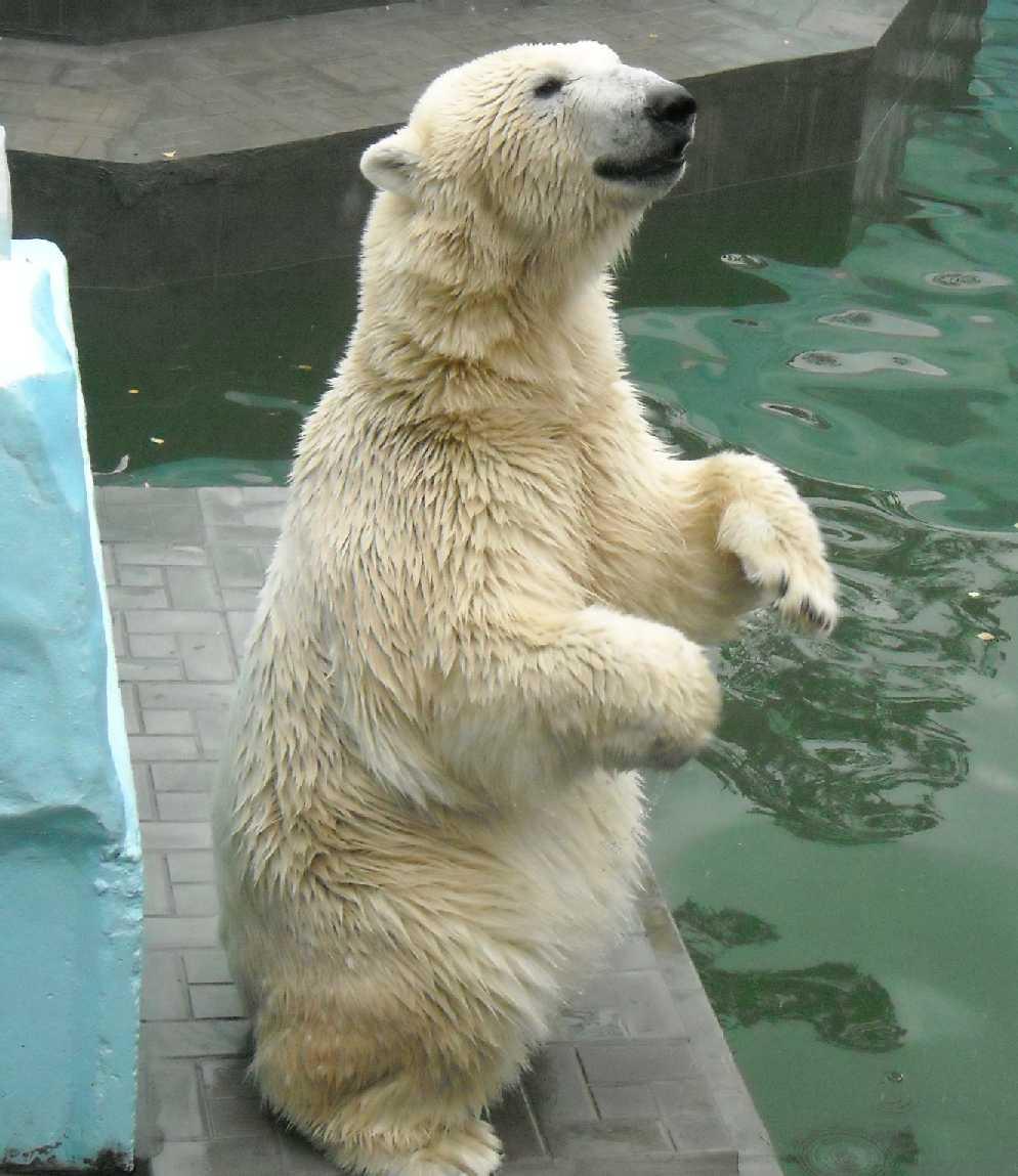 Белый медведь - Ursus maritimus  (фото 5184)