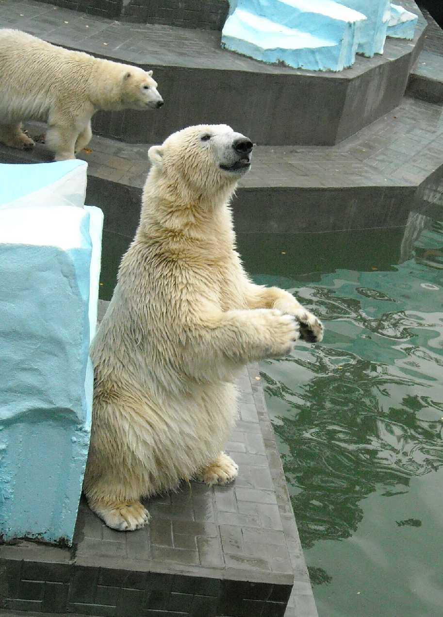 Белый медведь - Ursus maritimus  (фото 5185)