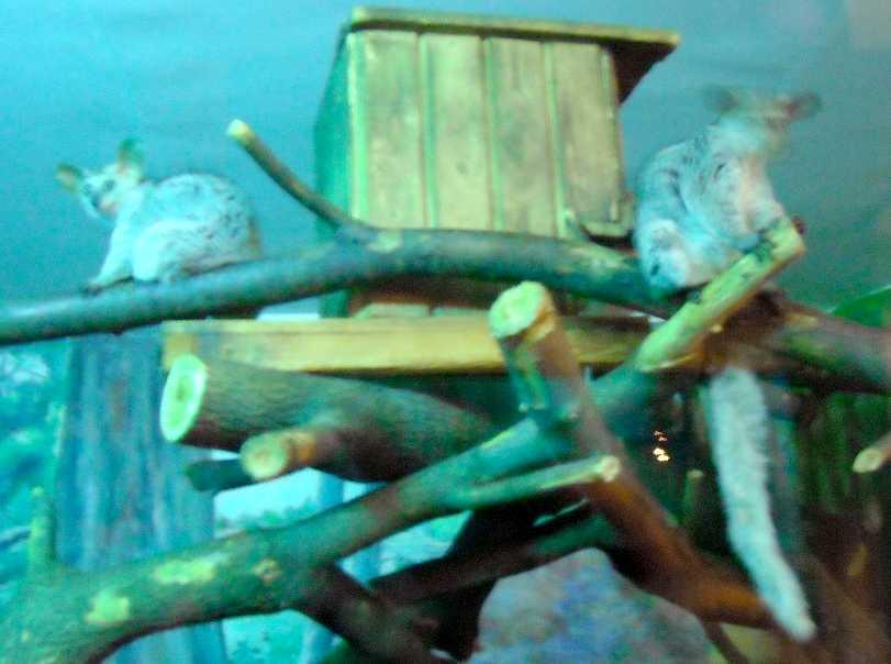 Толстохвостый галаго - Otolemur (Galago) crassicaudatus  (фото 5205)