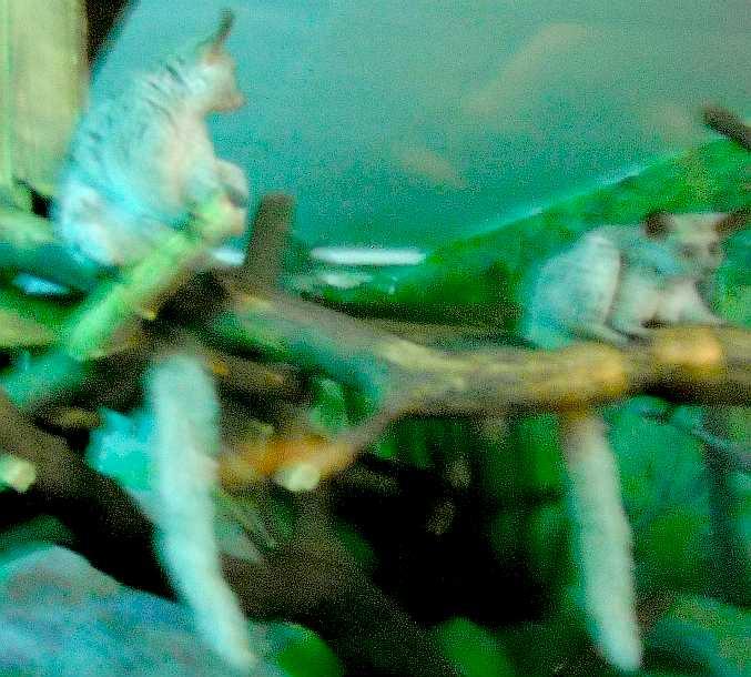 Толстохвостый галаго - Otolemur (Galago) crassicaudatus  (фото 5206)