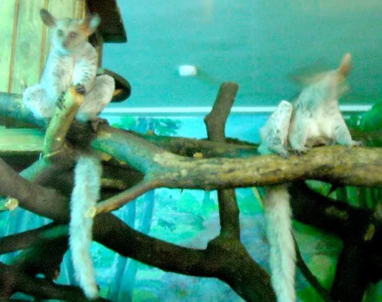 Толстохвостый галаго - Otolemur (Galago) crassicaudatus  (фото 5208)