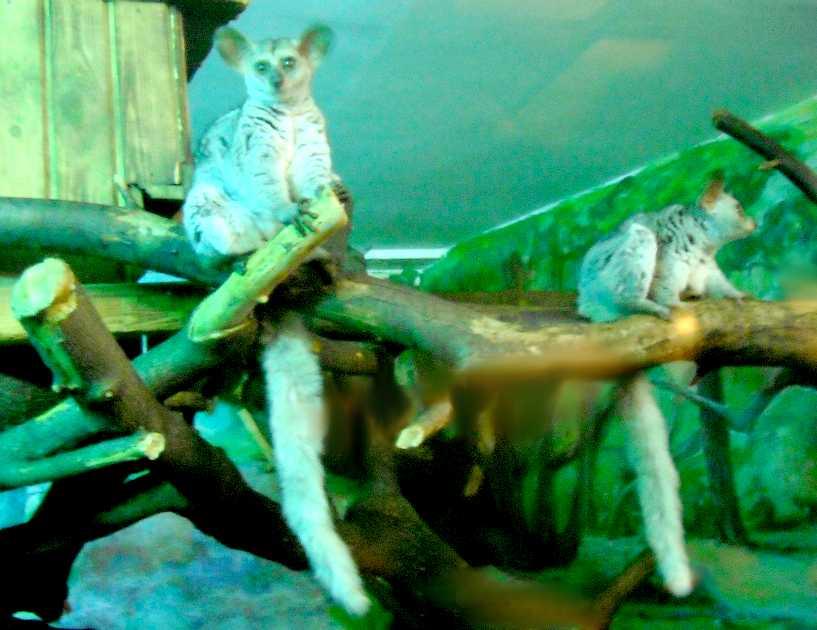 Толстохвостый галаго - Otolemur (Galago) crassicaudatus  (фото 5209)