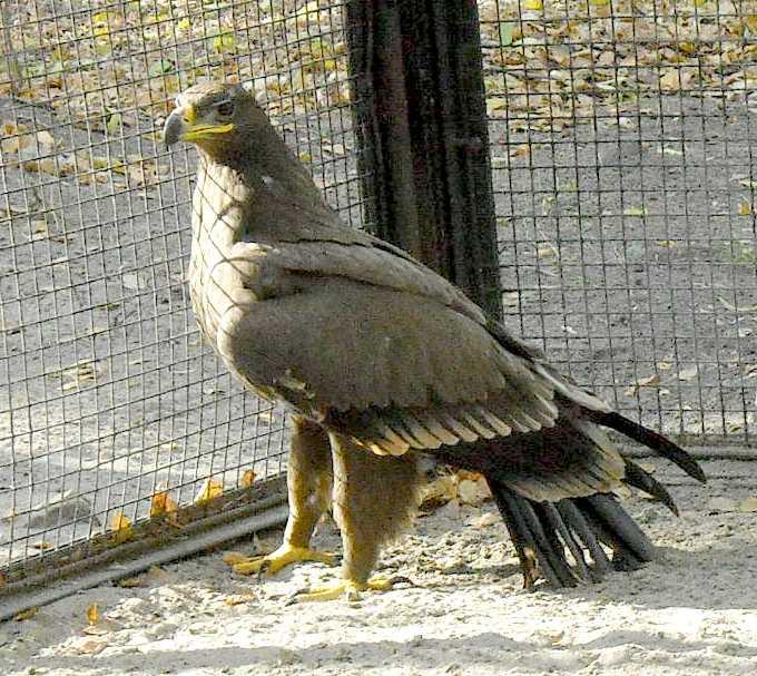 Обыкновенный канюк - Buteo buteo  (фото 5243)