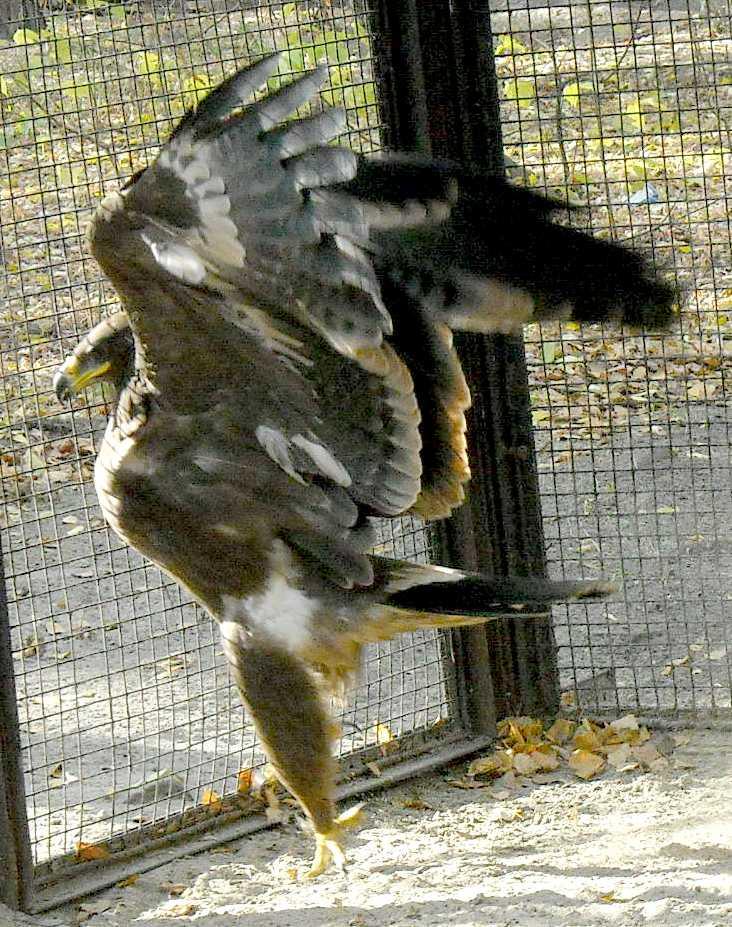 Обыкновенный канюк - Buteo buteo  (фото 5246)