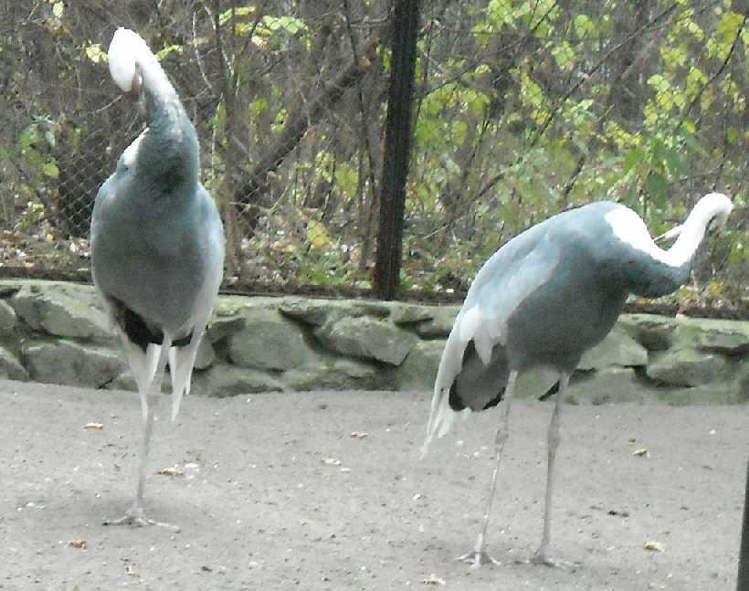 Даурский журавль - Grus vipio  (фото 5264)