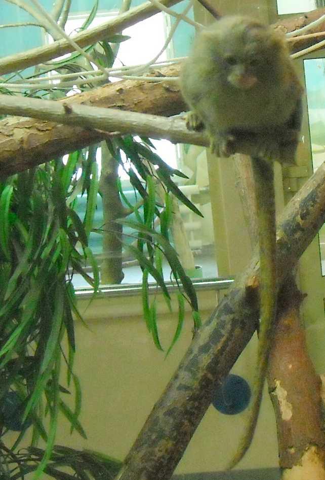 Карликовая мармозетка - Cebuella pygmaea  (фото 5358)