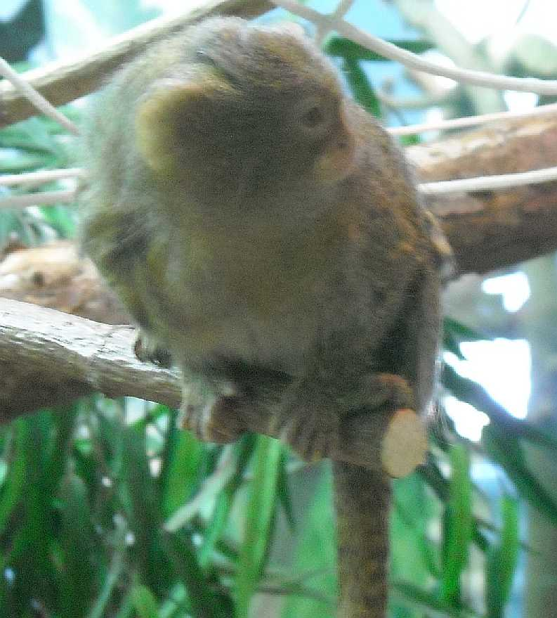 Карликовая мармозетка - Cebuella pygmaea  (фото 5359)