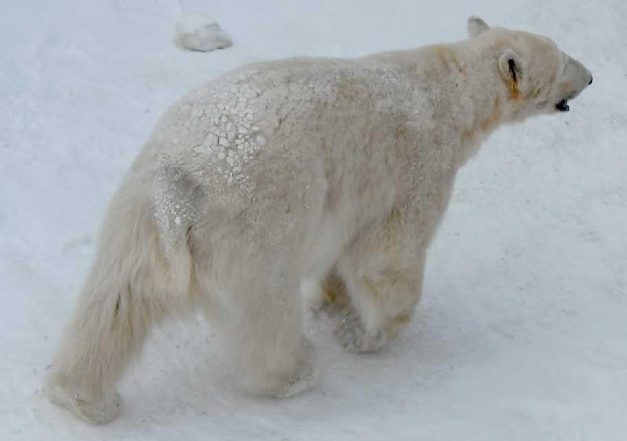 Белый медведь - Ursus maritimus  (фото 5419)