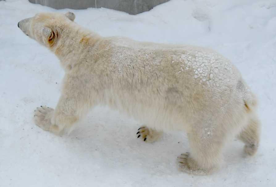 Белый медведь - Ursus maritimus  (фото 5420)