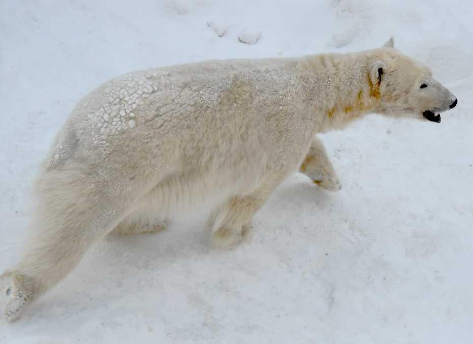Белый медведь - Ursus maritimus  (фото 5421)
