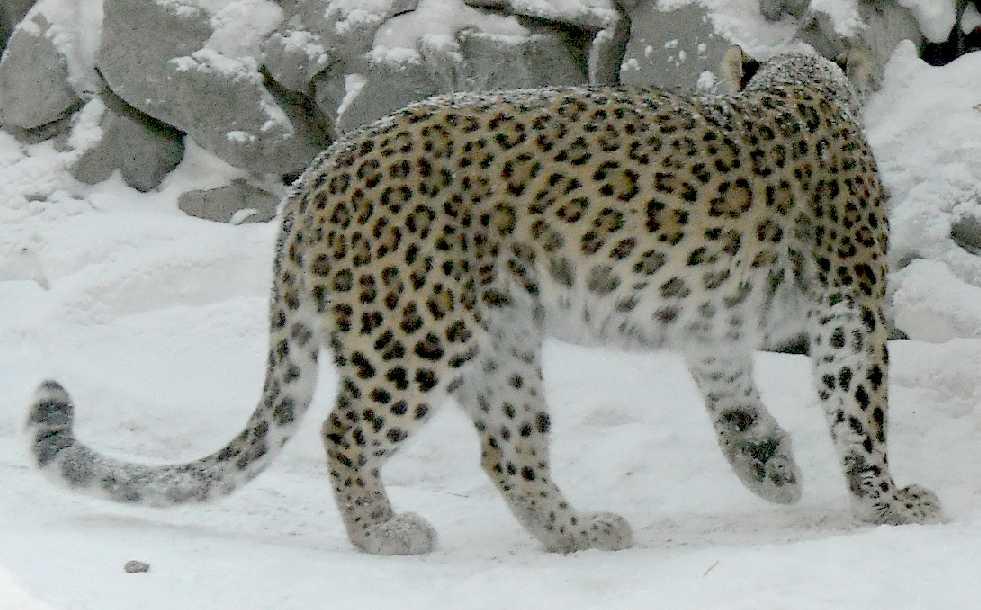Персидский леопард - Panthera pardus saxicolor  (фото 5433)