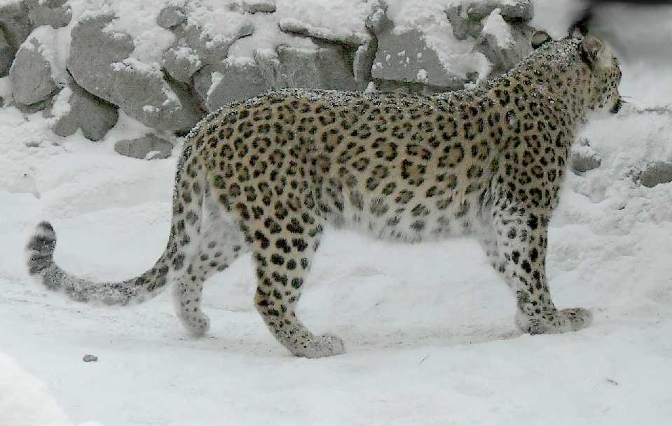 Персидский леопард - Panthera pardus saxicolor  (фото 5434)