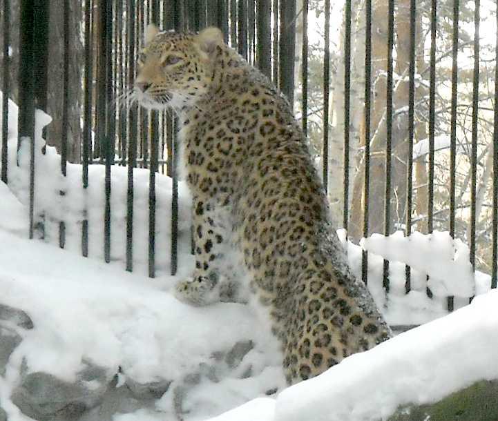 Персидский леопард - Panthera pardus saxicolor  (фото 5435)