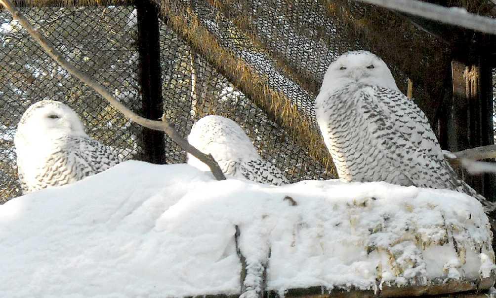 Белая сова - Nyctea scandiaca  (фото 5438)