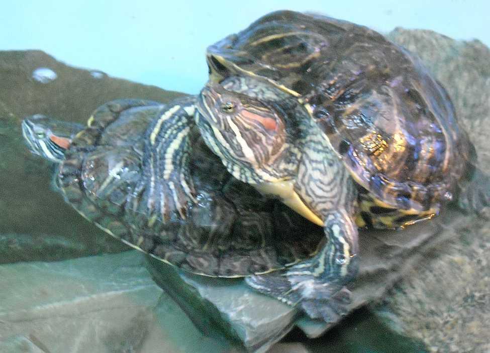 Красноухая черепаха - Pseudemys scripta elegans  (фото 5525)