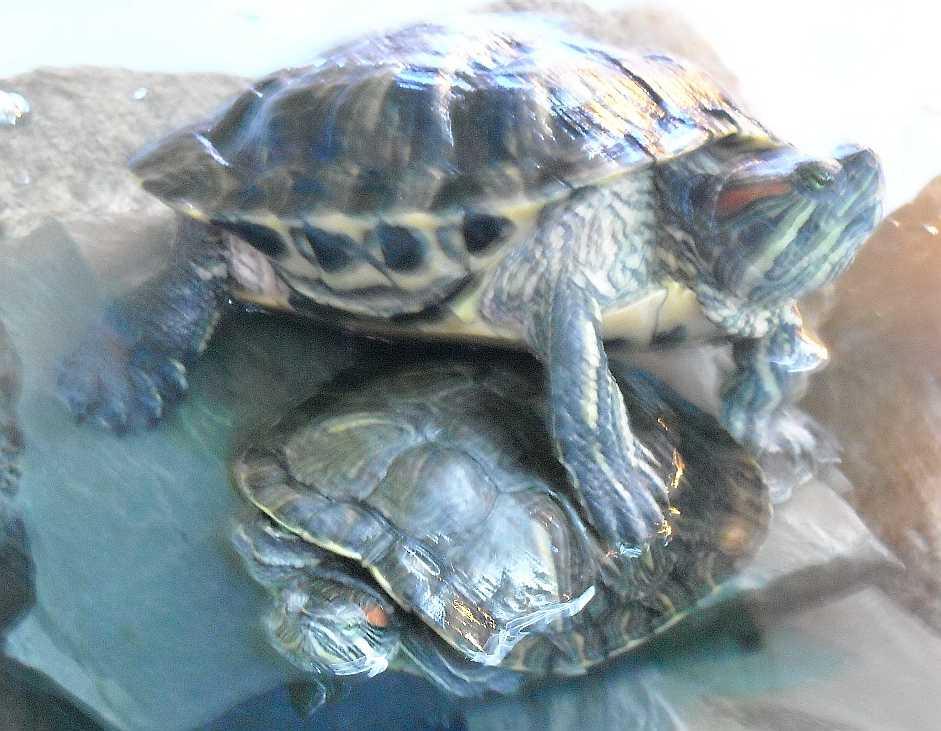 Красноухая черепаха - Pseudemys scripta elegans  (фото 5526)