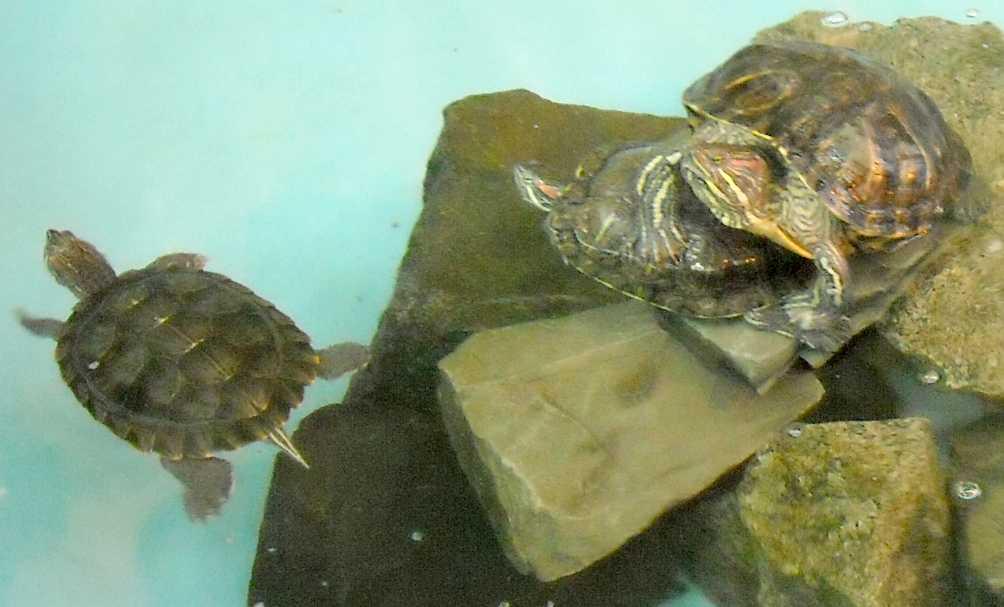 Красноухая черепаха - Pseudemys scripta elegans  (фото 5527)