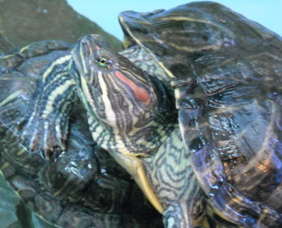 Красноухая черепаха - Pseudemys scripta elegans  (фото 5528)