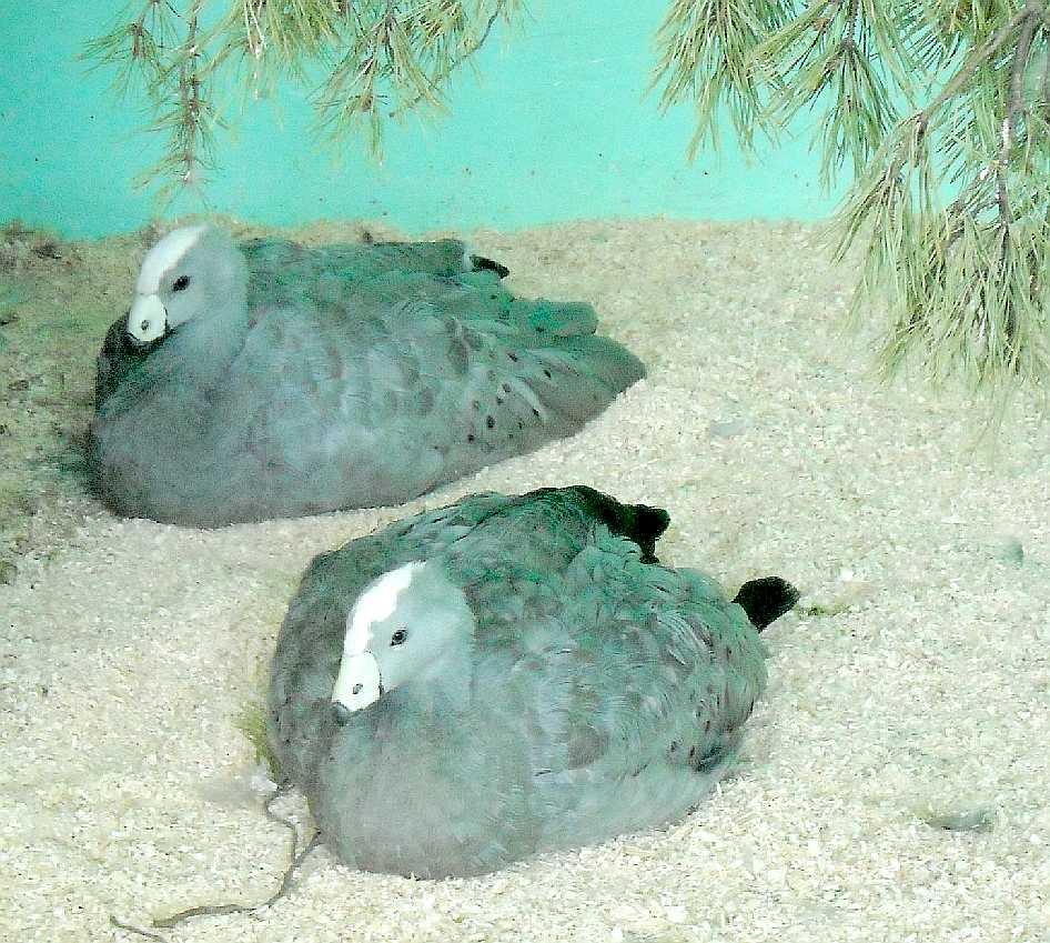 Куриный гусь - Cereopsis novaehollandiae  (фото 5531)