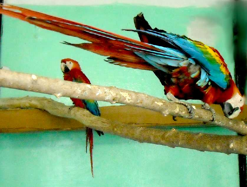 Сине-желтый ара - Ara ararauna  (фото 5533)