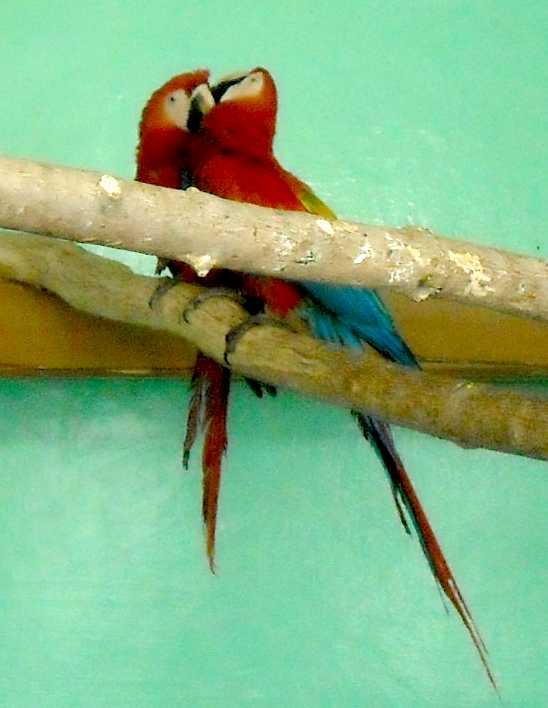Сине-желтый ара - Ara ararauna  (фото 5534)
