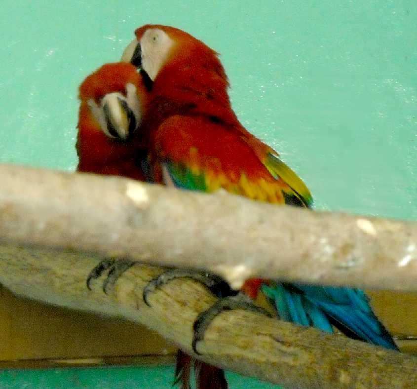 Сине-желтый ара - Ara ararauna  (фото 5535)