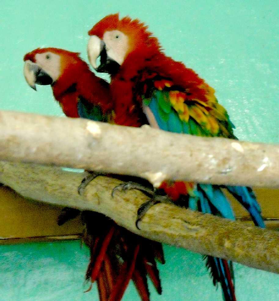 Сине-желтый ара - Ara ararauna  (фото 5536)