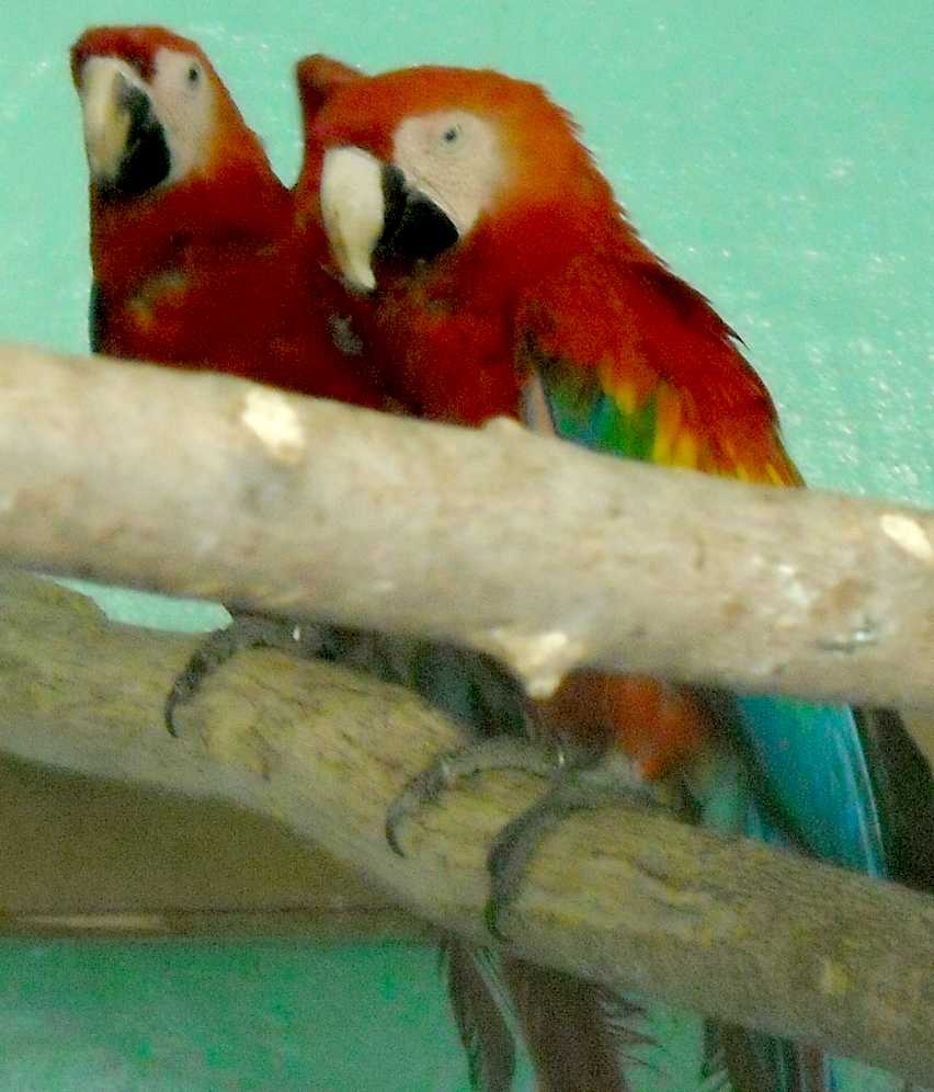 Сине-желтый ара - Ara ararauna  (фото 5537)