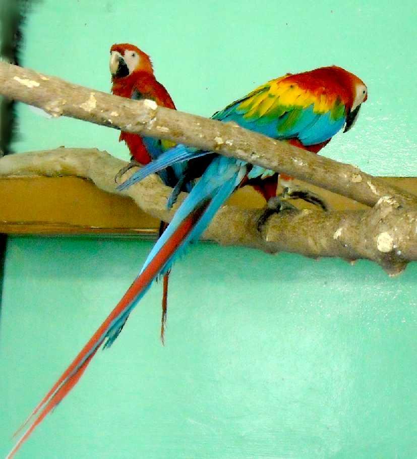 Сине-желтый ара - Ara ararauna  (фото 5545)
