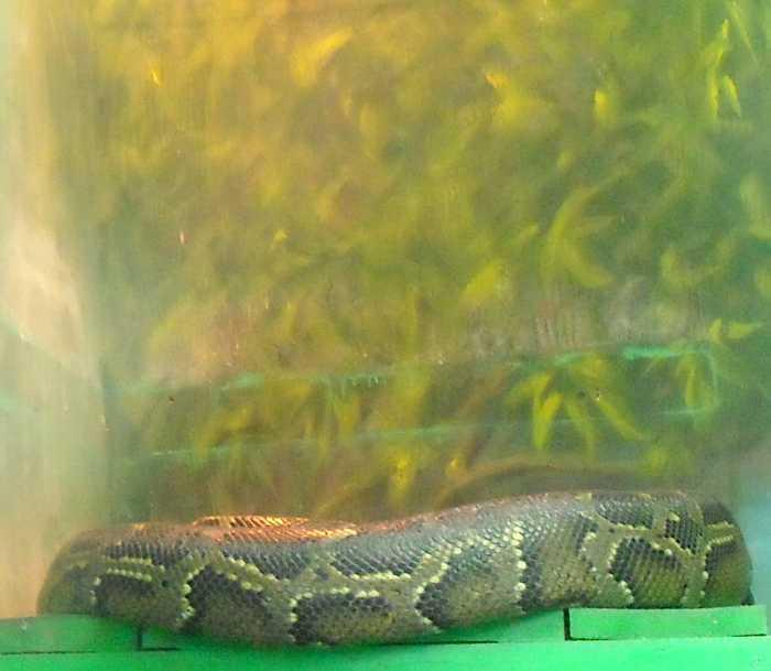 Тигровый питон - Python molurus  (фото 5742)