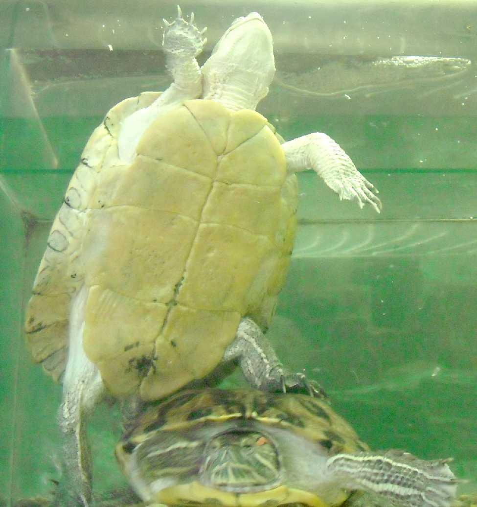 Красноухая черепаха - Pseudemys scripta elegans  (фото 5749)