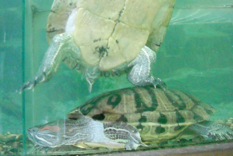 Красноухая черепаха - Pseudemys scripta elegans  (фото 5750)