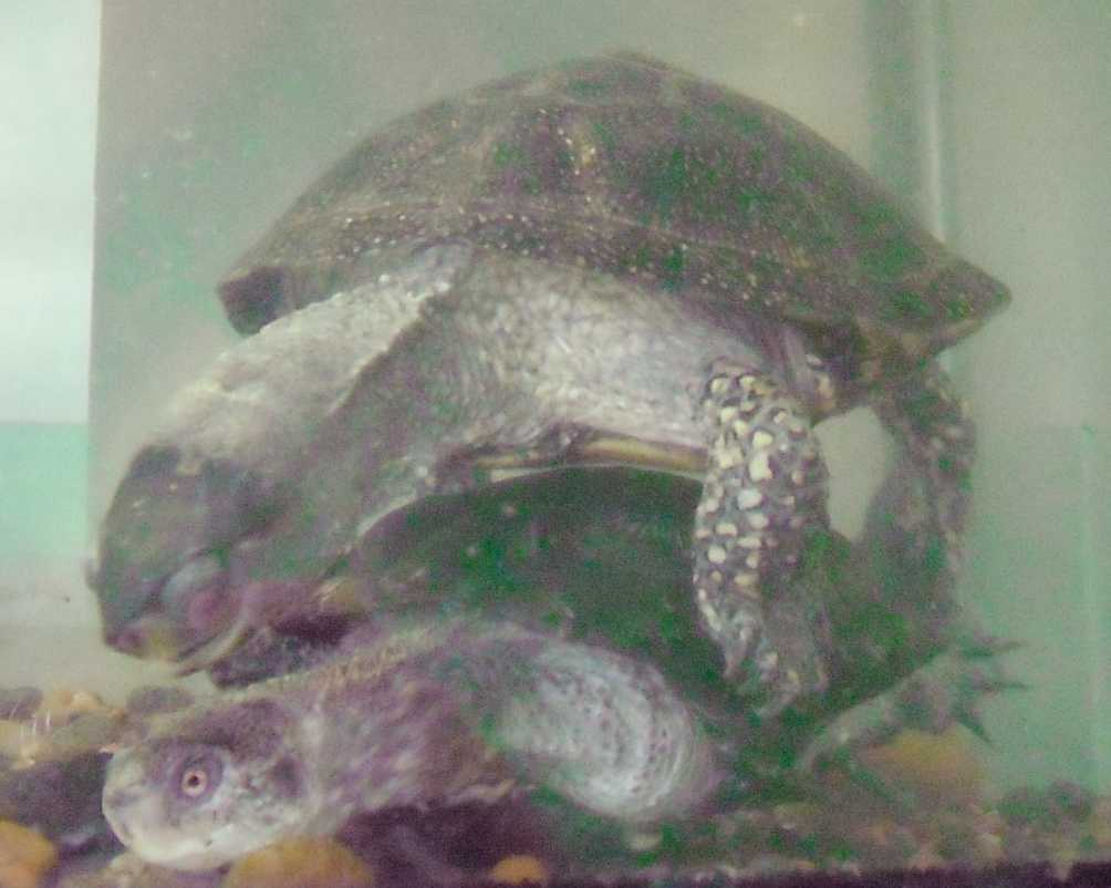 Европейская болотная черепаха - Emys orbicularis  (фото 5751)