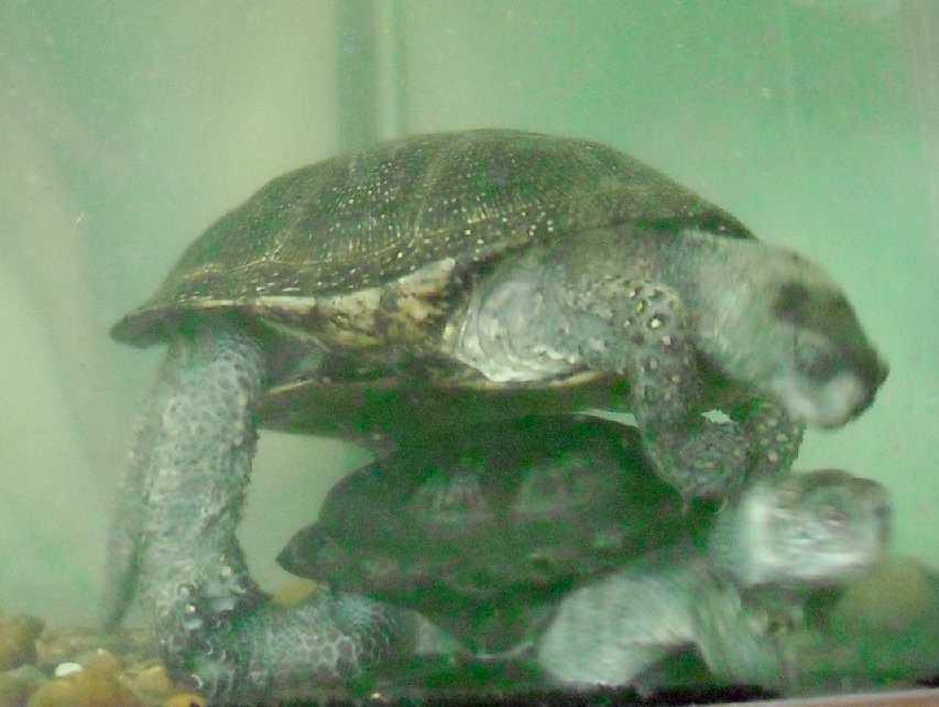 Европейская болотная черепаха - Emys orbicularis  (фото 5752)