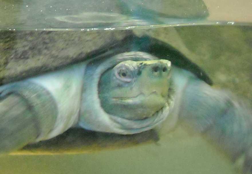 Храмовая черепаха - Hieremys annandalei  (фото 5753)