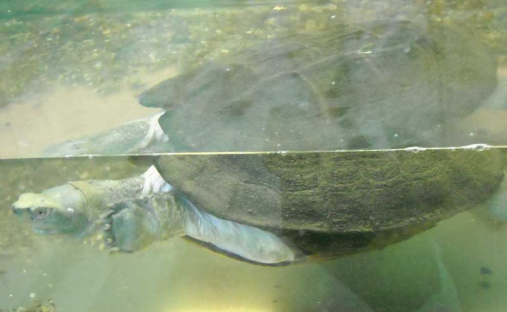 Храмовая черепаха - Hieremys annandalei  (фото 5754)