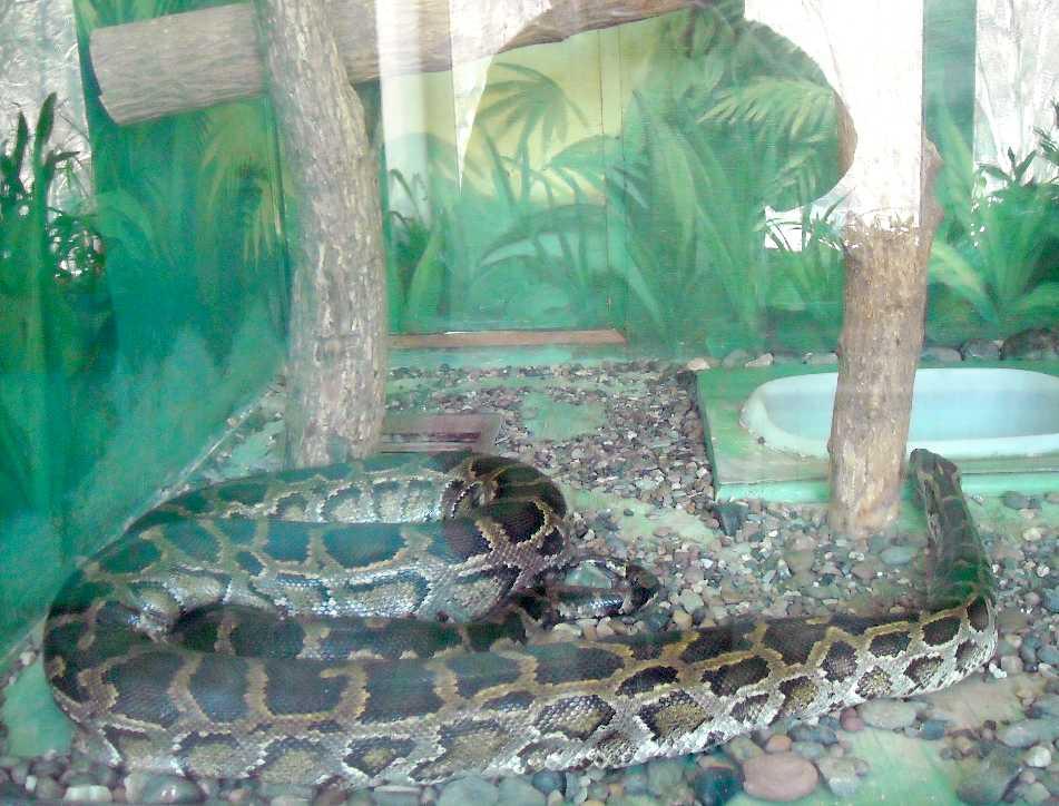 Тигровый питон - Python molurus  (фото 5762)