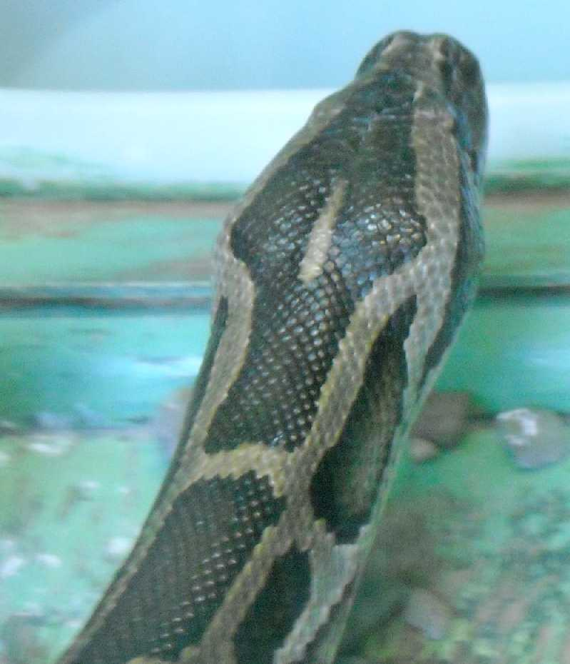 Тигровый питон - Python molurus  (фото 5763)