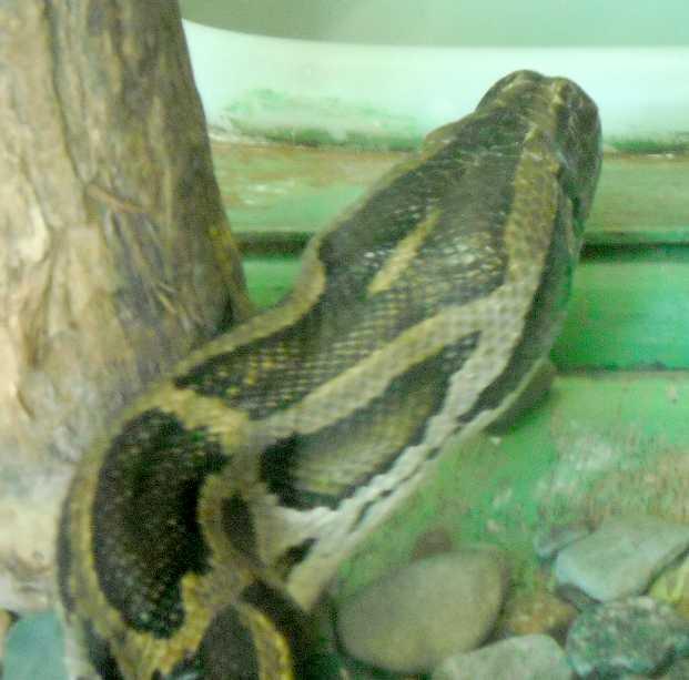 Тигровый питон - Python molurus  (фото 5764)