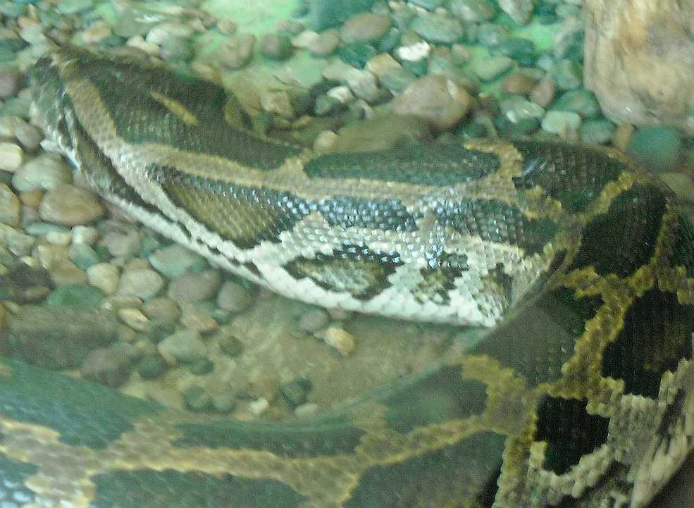 Тигровый питон - Python molurus  (фото 5765)