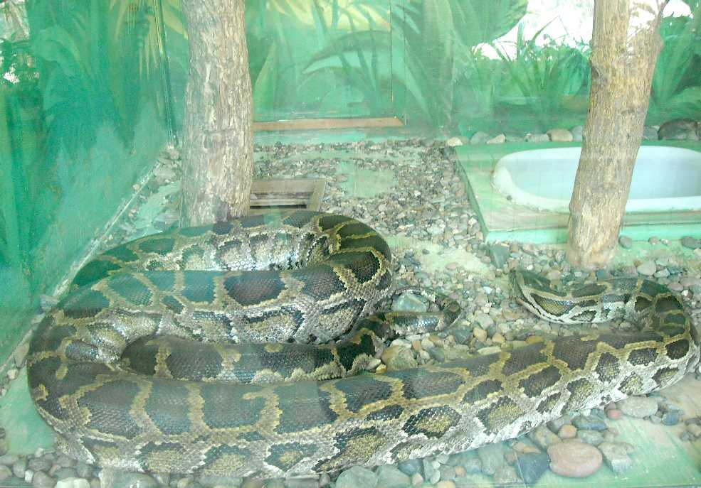 Тигровый питон - Python molurus  (фото 5766)