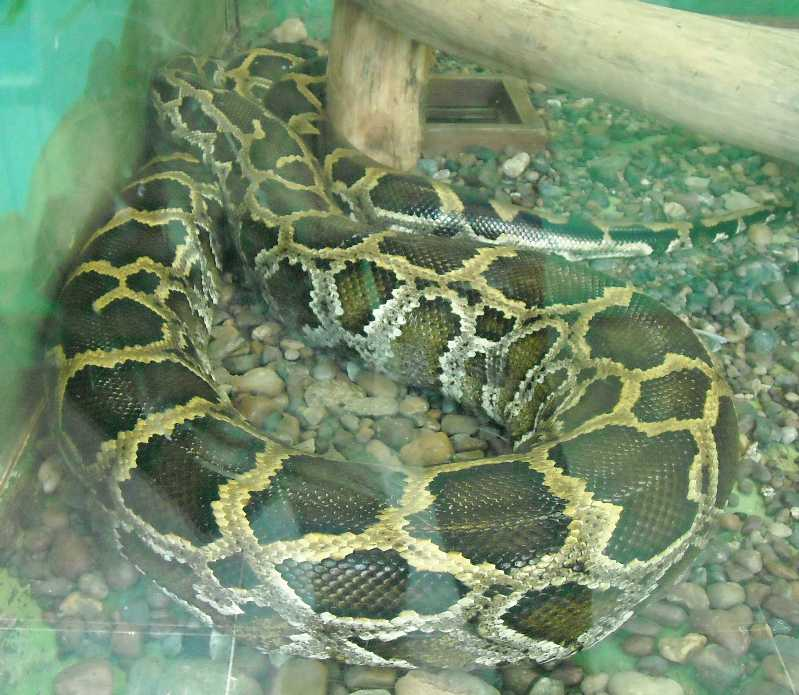 Тигровый питон - Python molurus  (фото 5767)