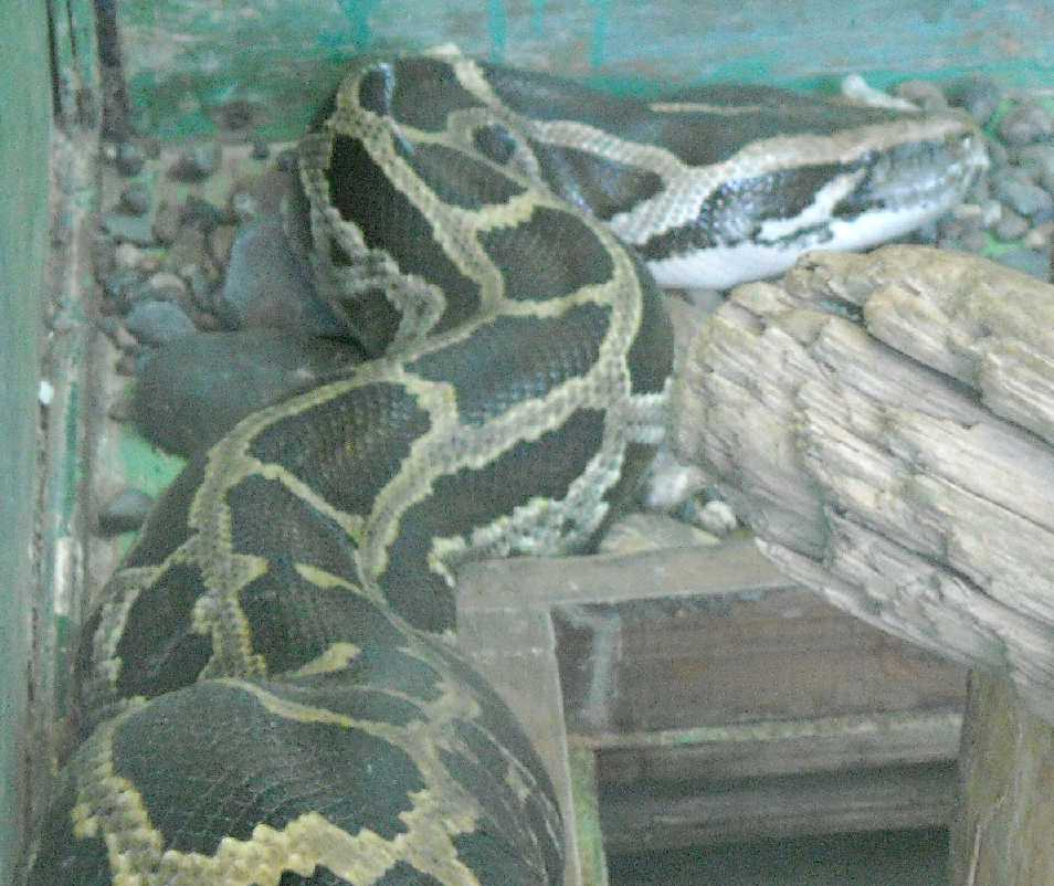 Тигровый питон - Python molurus  (фото 5768)